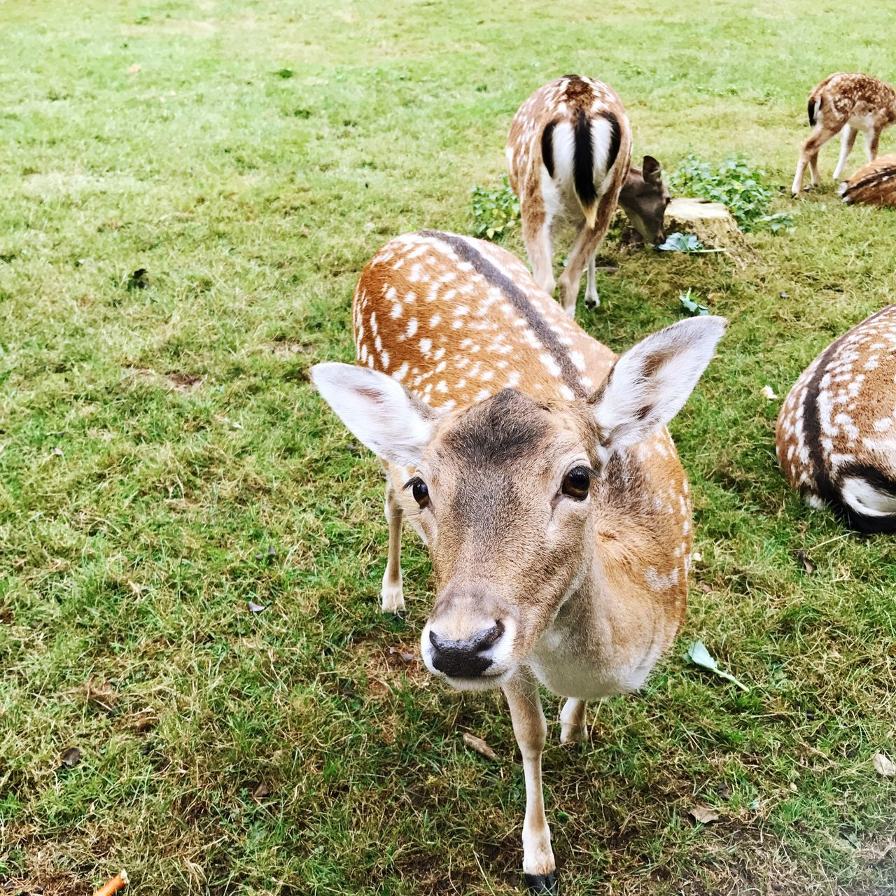 Deer Roe Deer Herd Animal Animals Grass Animal Themes Mammal Field Wildlife Animals In The Wild Looking At Camera Herbivorous Grassy Green Color Medium Group Of Animals Meadow Nature Fawn Livestock Day Outdoors Animal Head  Zoology Focus On Foreground