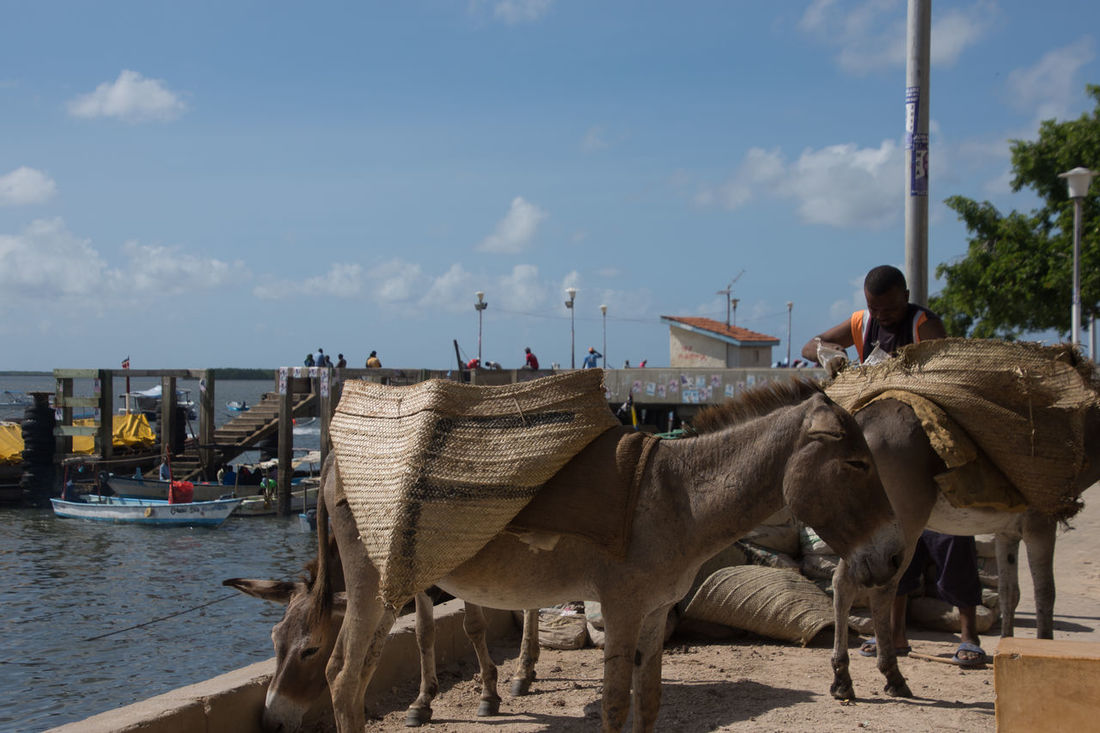 Preparing donkeys for work Lamu Background Beast Of Burden Cargo Cloud - Sky Day Domestic Animals Donkey Full Length Jetty Loading Zone Mammal Men Nature One Animal One Man Only One Person Outdoors People Real People Sky Wallpaper The Week On EyeEm