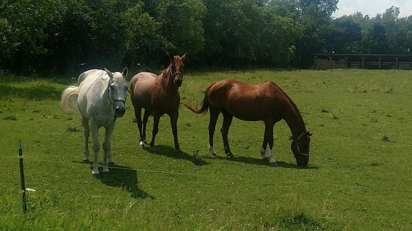 Sommergefühle A day on the farm listening to old time bluegrass and watching the horses. Livestock Animal Themes Domestic Animals Grass Green Color Mammal Field No People Nature Agriculture Tree Grazing Outdoors Day Beauty In Nature