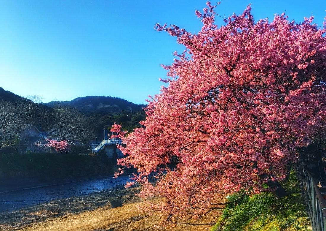 Tree Nature Beauty In Nature Growth Scenics Pink Color Flower Outdoors Pink Clear Sky No People Sky Day IPhoneography Iphonephotography IPhone7Plus Japan Photography EyeEm Japan Discover Japan Sakura Kawazu-zakura