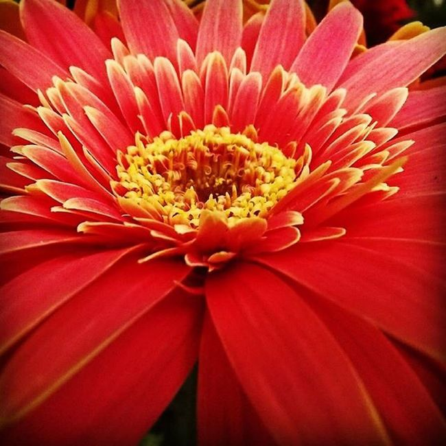 Nature Flower Macro Red Cornwallpark Gerbera Rw_happycolors 9Vaga_ColorRed9 Af_floral➡🌼flowers Tt_wt_rflora Ptk_flowers_red1 Hello_red