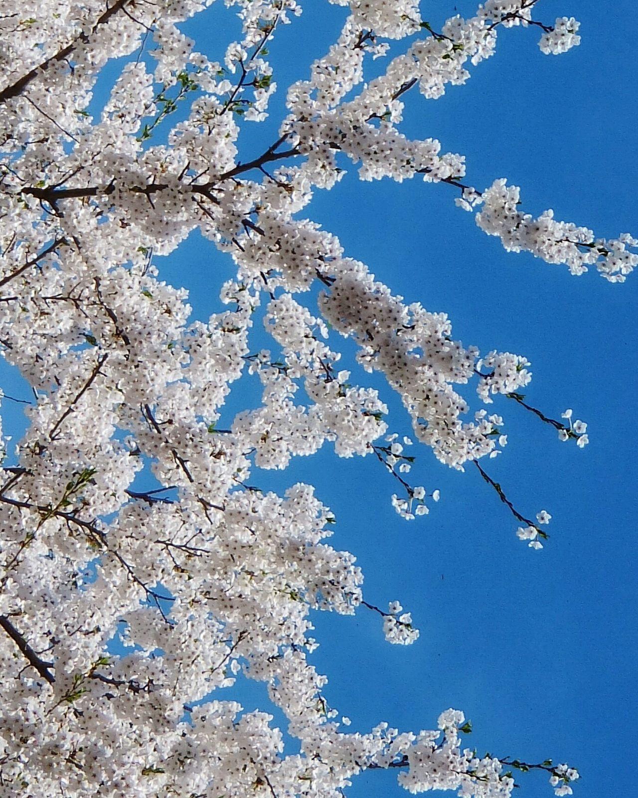 Sakura Cherry Blossoms Blossom Tree Beuty Treeflower Dreamy Pastel Pastel Power Spring 1stlove Pure WeatherPro: Your Perfect Weather Shot Spring Tree Springtime Saku