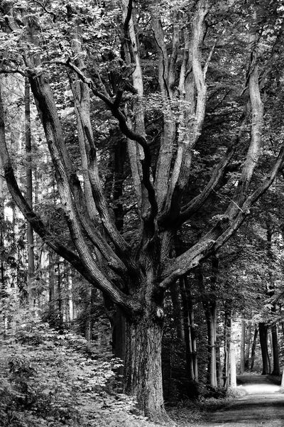 Blackandwhite Tree Tree Trunk Nature Branch Tranquility Outdoors Day Forest Growth Tranquil Scene No People Beauty In Nature Landscape Scenics Bare Tree Black And White Friday