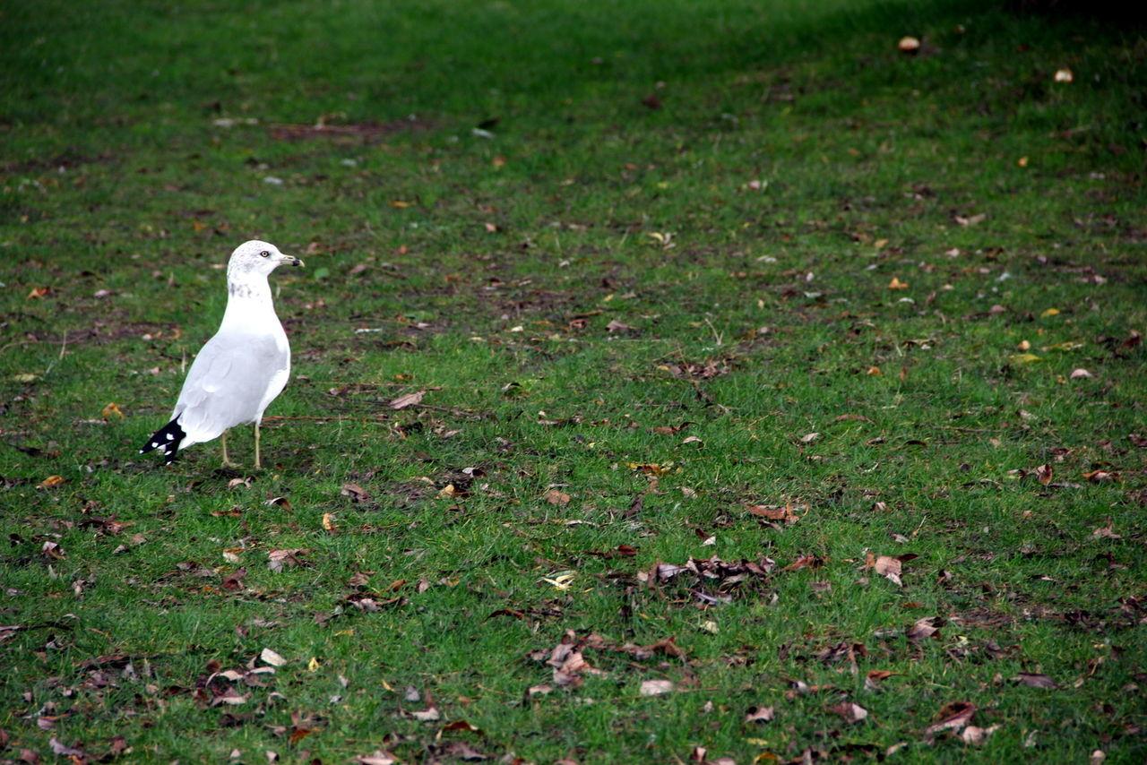 Seagull On Grassy Field