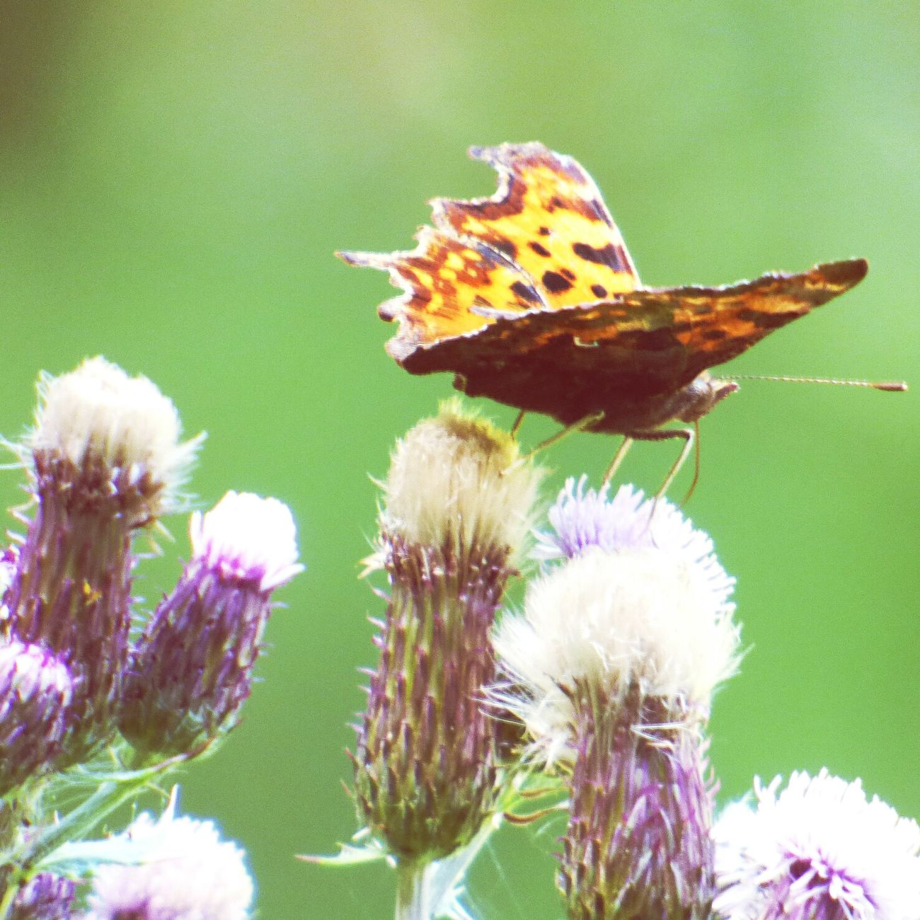 Butterfly A Walk In The Woods Challock Taking Photos Thistles