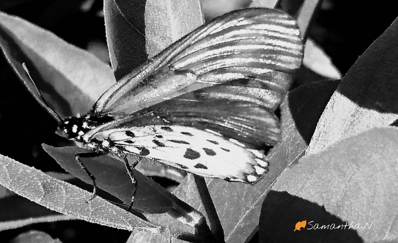 Blackandwhitephoto Black And White Photography Close-up Taking Photos Beautiful Wings Inthemoment Insect Butterfly Nature Butterfly - Insect Springtime Naturecollection