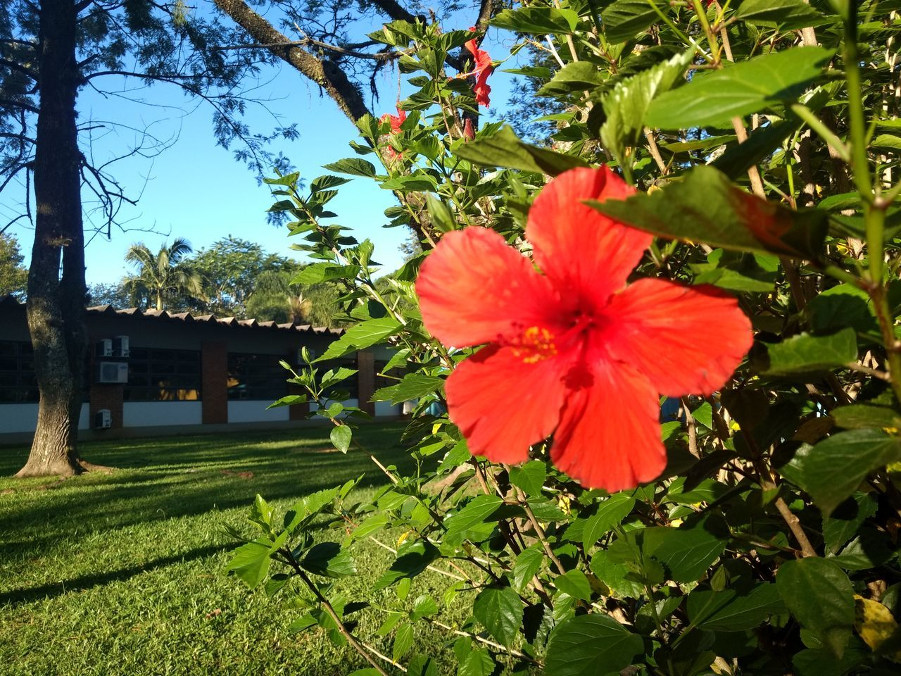 flower, growth, beauty in nature, nature, day, no people, plant, outdoors, petal, fragility, flower head, blooming, freshness, leaf, hibiscus, tree, close-up