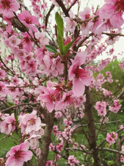 🌸 Flower Pink Color Blossom Growth Tree Fragility Beauty In Nature Branch Springtime Nature Petal Freshness Apple Blossom Orchard No People Blooming Close-up Flower Head Day Outdoors