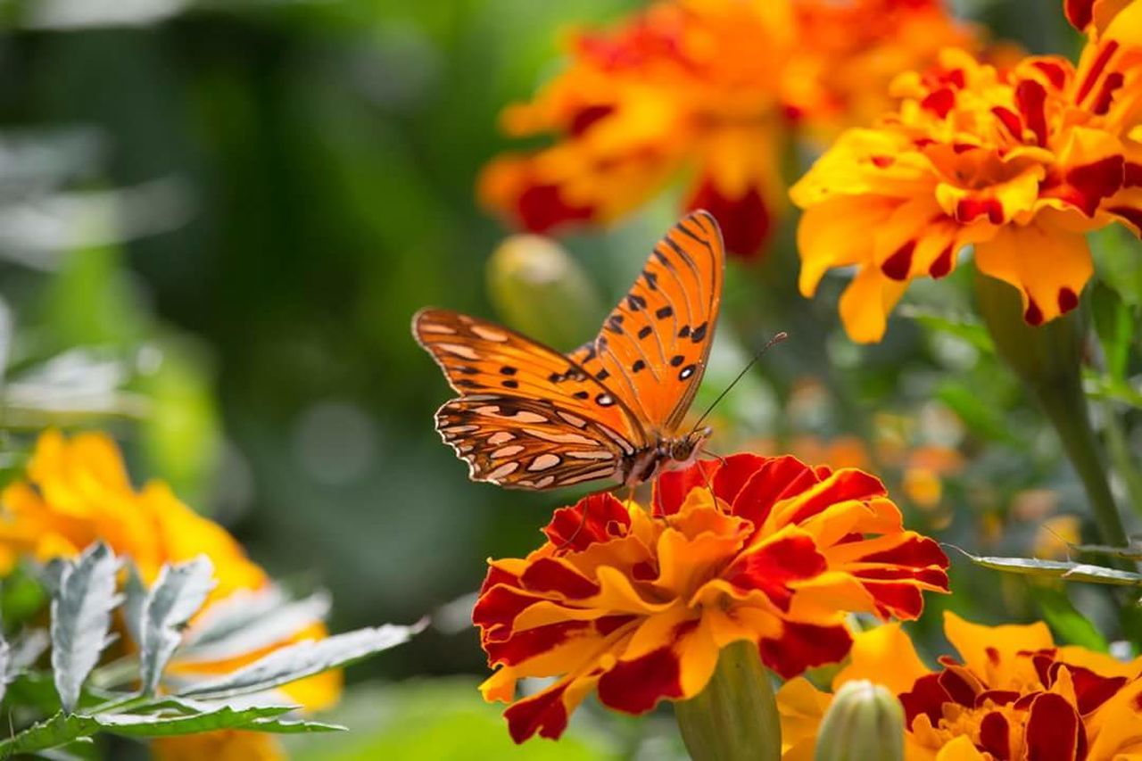 flower, butterfly - insect, insect, animals in the wild, freshness, plant, fragility, beauty in nature, animal themes, nature, one animal, petal, flower head, orange color, no people, growth, pollination, close-up, butterfly, outdoors, focus on foreground, day, animal wildlife, leaf, yellow, perching, blooming, zinnia