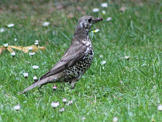 Mistle Thrush Springwatch Naturelovers Nature_collection Birds Wildlife Wildlife Photography Birds Of EyeEm  Bird Photography Countryside Forest Floor