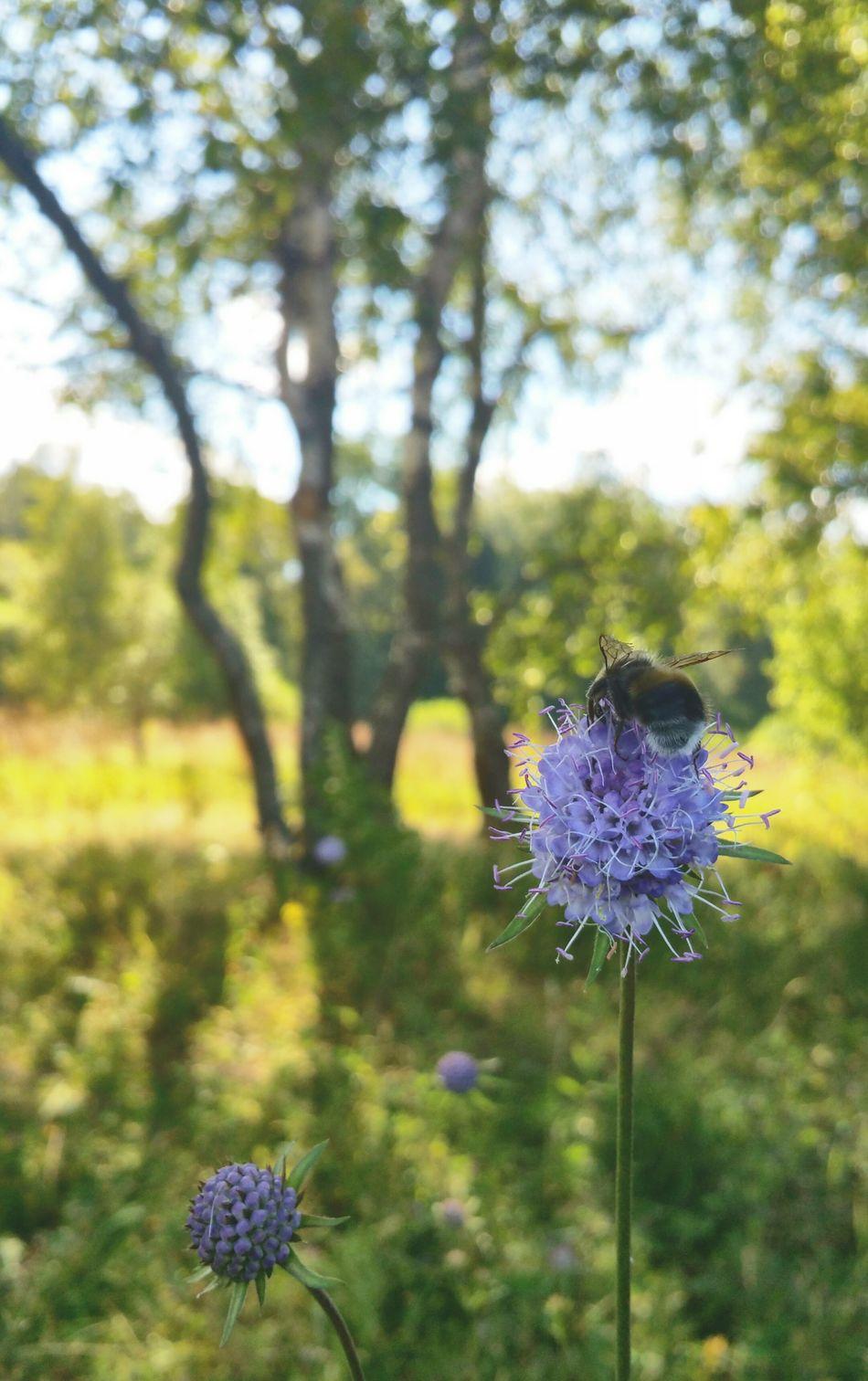 A Bumblebee & a Flower ... Summertime Summer Nature Russia Naturelovers Naturaleza Trees Close-up Insect Bee Mauve Flower шмель березки подмосковье лето