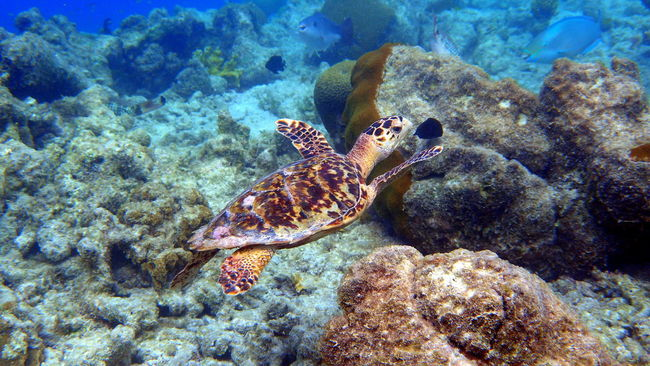 Small turtle at klein bonaire Animal Themes Animals Animals In The Wild Beauty In Nature Coral Fish Nature Sea Sea Life Sea Turtle Swimming UnderSea Underwater