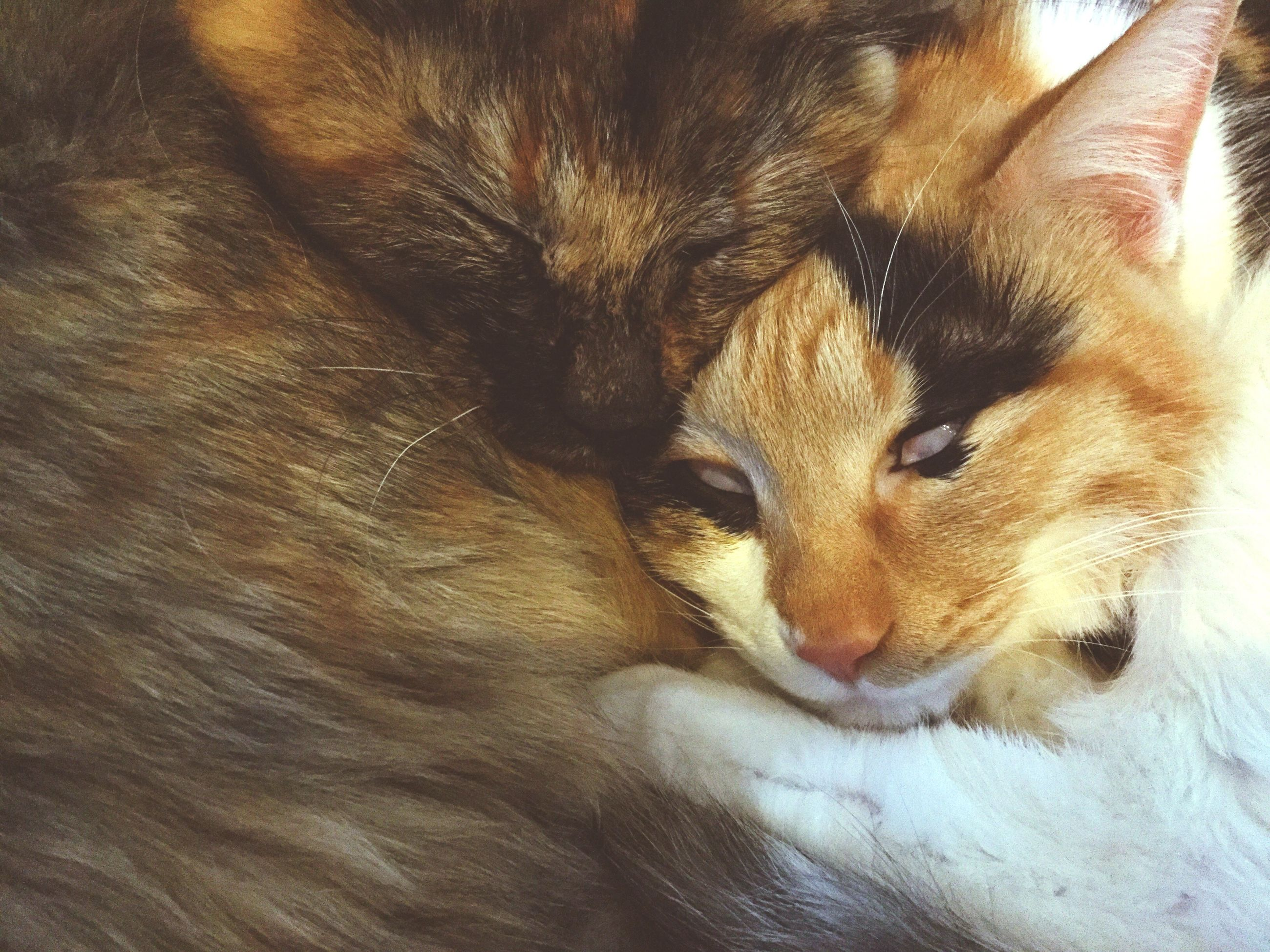 animal themes, mammal, domestic animals, pets, one animal, domestic cat, no people, feline, close-up, indoors, day