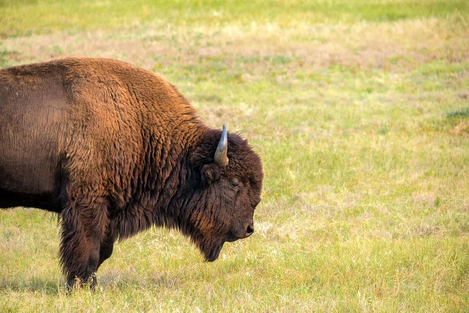 View of a single bison in Custer State Park, South Dakota American American Bison Animal Animals Animals In The Wild Bison Black Hills Brown Buffalo Custer State Park Grassland Herd Mammal Mammals Nature Park Park - Man Made Space South Dakota Tourism Travel USA Wildlife Wildlife & Nature
