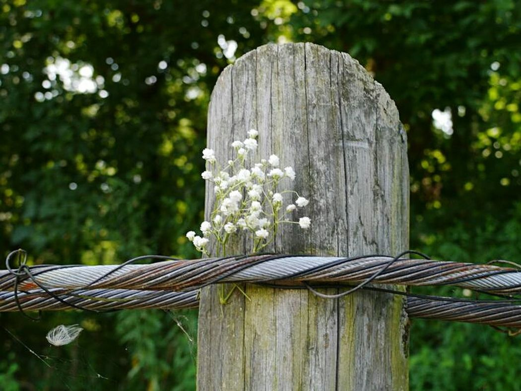 I found this baby's breath randomly tucked between the wire and the post while out hiking one day. Baby's Breath Flowers Wire Post Wood Post White Flowers Rustic Metal Wire Outside Photography Outside