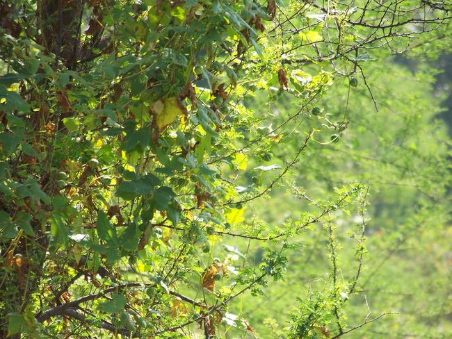 Lush foilage near Chandigarh Beauty In Nature Branch Close-up Focus On Foreground Green Color Growing Growth Leaf Nature Outdoors Plant Tree