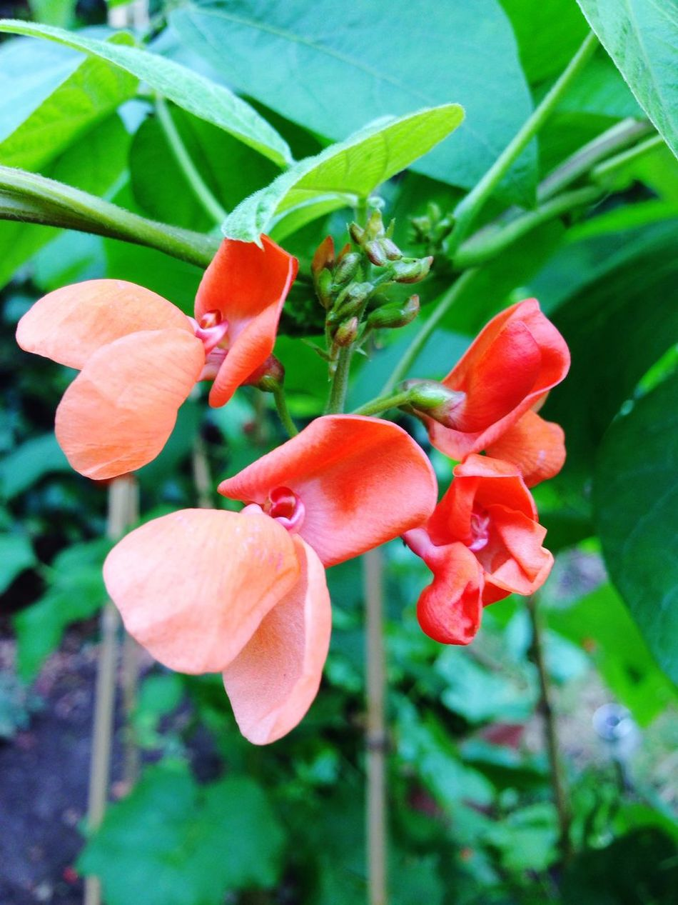 In My Garden The Fruits Of Our Labour Edit Runner bean flowers.... I love them !
