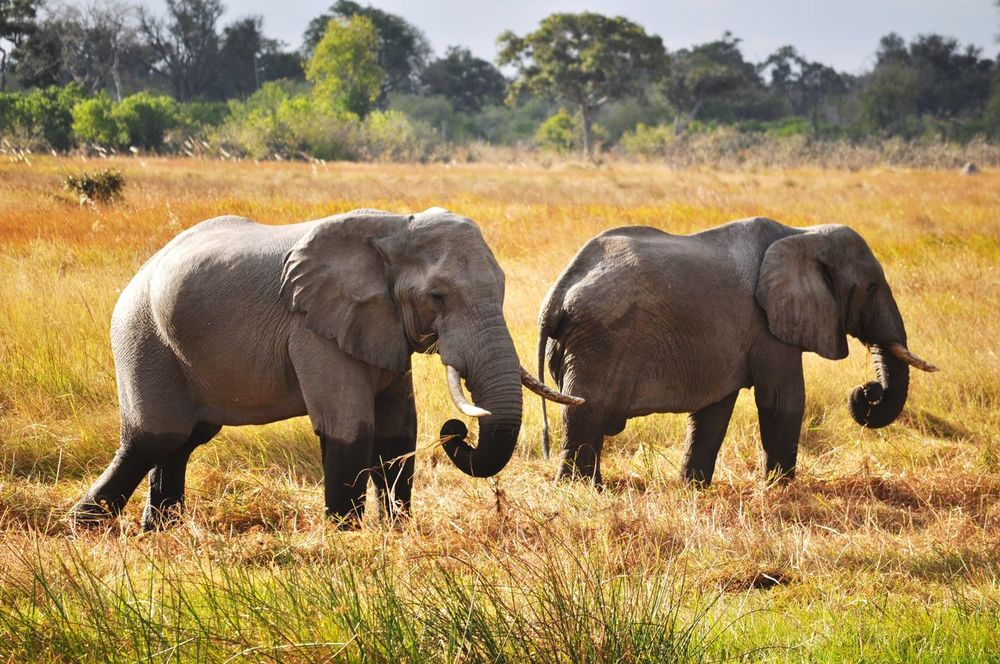 Elephants After Bathtime After Bath Boots Animals In The Wild Wildlife Wildlife & Nature Botswana Beauty In Nature Savannah Pachyderm Sunny Day Africa Relaxing View Sunlight Having A Good Time Safari Safari Animals