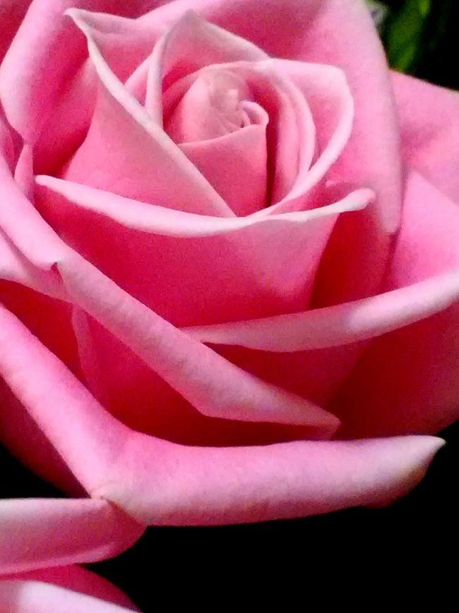 Rose - Flower Petal Flower Head Close-up Rosé Backgrounds Fragility Pink Color Full Frame Freshness Beauty In Nature Pink In Bloom Softness Nature Single Rose Single Flower Roses🌹 Beautiful ♥ My Man Loves Me From My Point Of View Amazing Beauty Love In The Air Flowers In My Garden EyeEm