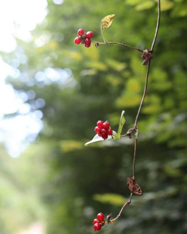 Berrys Freshness Growth Red Twig Nature Branch Beauty In Nature Day Leaves Leaf Outdoors Nature Growth