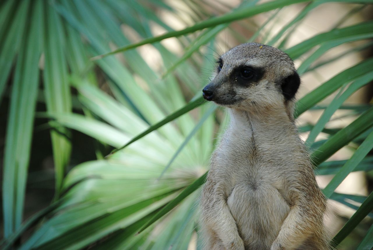 one animal, animals in the wild, animal themes, animal wildlife, mammal, green color, day, meerkat, nature, outdoors, no people, lemur, close-up, tree