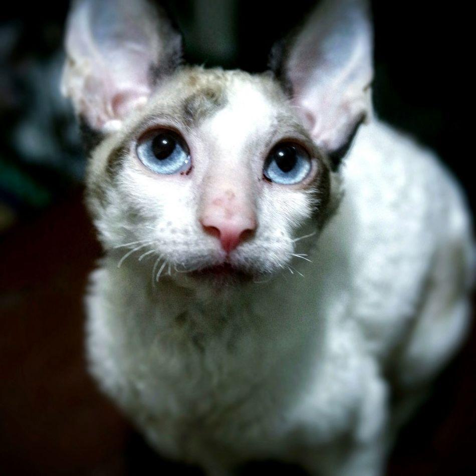 Cornishrex Animal Photography Cats CRX Segatarex Animals EyeEm Best Shots