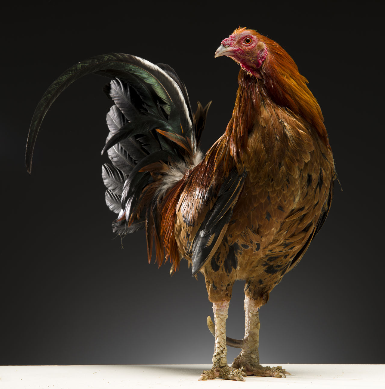 Beautiful stock photos of rooster,  Animal Themes,  Black Background,  Brown,  Cockerel