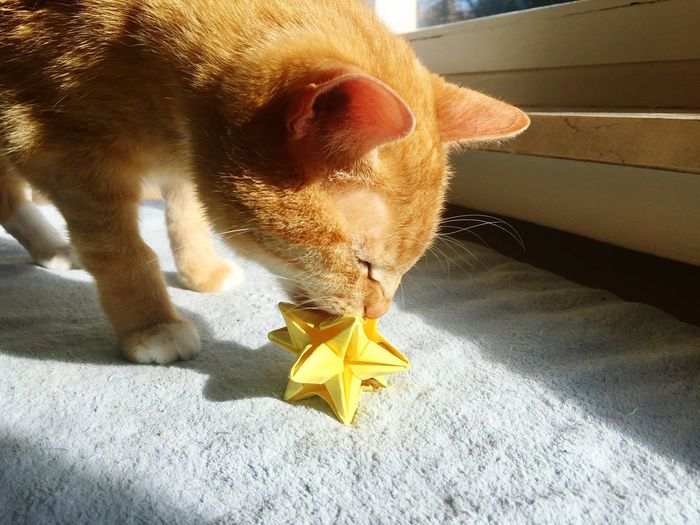 TAP loves playing with the origami Star 🌟🐱☺️🐾💛🎩 Magic Cat Origami Star Cat Of The Day Cat Lifestyle My Cat♥ 3XSPUnity Ginger Cat My Cat😺🐈 Thinking Cat Cat Photography Lovely Cat 😻 EyeEmNewHere Clever Cat