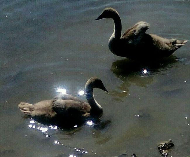 Swanlings Sunbathing💟✌👍👋🐣🐬 5swanlings2015💟 Capturing Freedom Swansrulethelake Oslostreets Pondlife