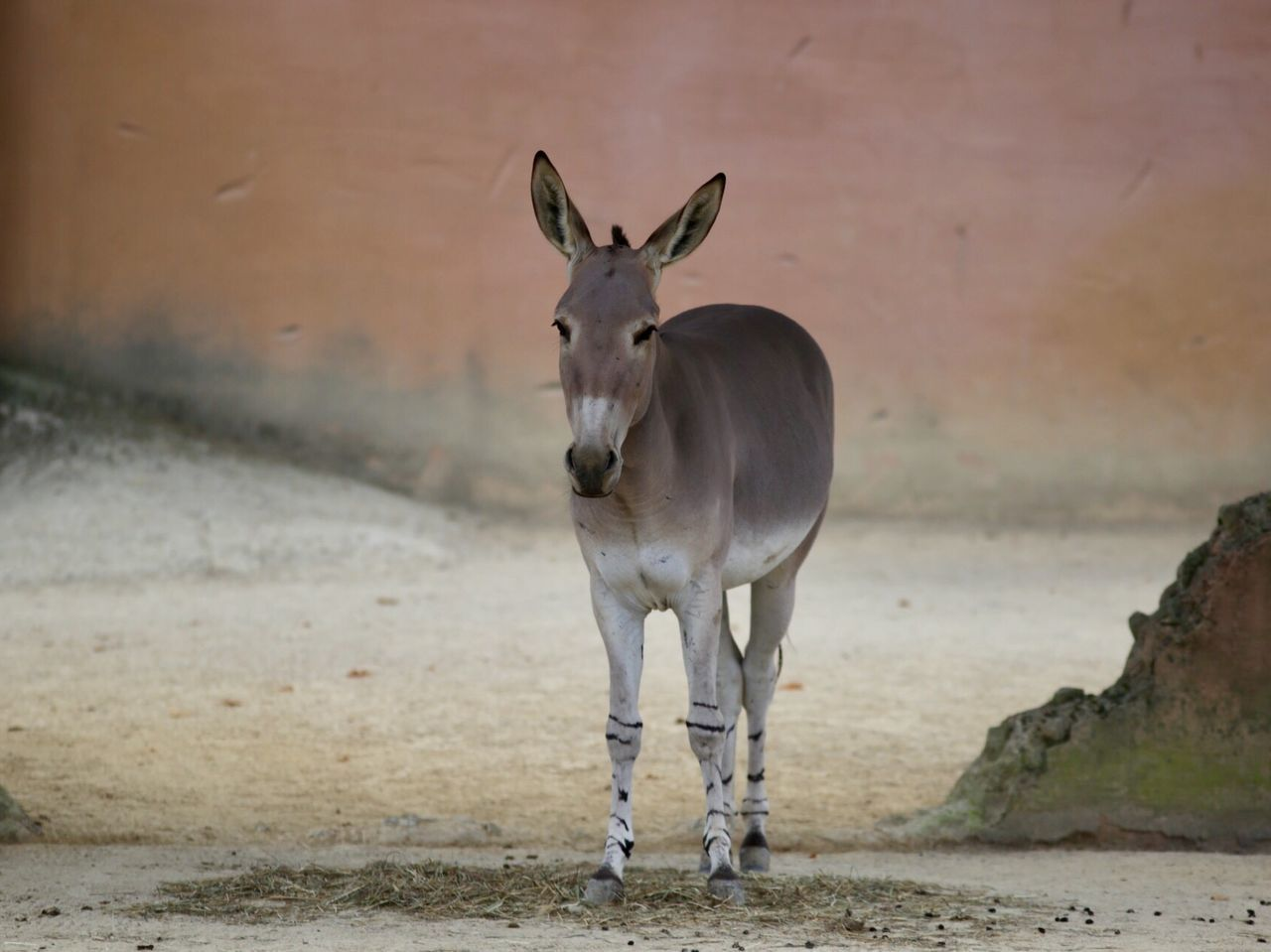 Africa Alone Animal Themes Animal# Animals In The Wild Beautiful Beauty In Nature Day Donkey Ears Focus Green Color Horse JACKASS Mammal Middle Nature No People One Animal Outdoors People Somali Somali Donke Somali Donkey