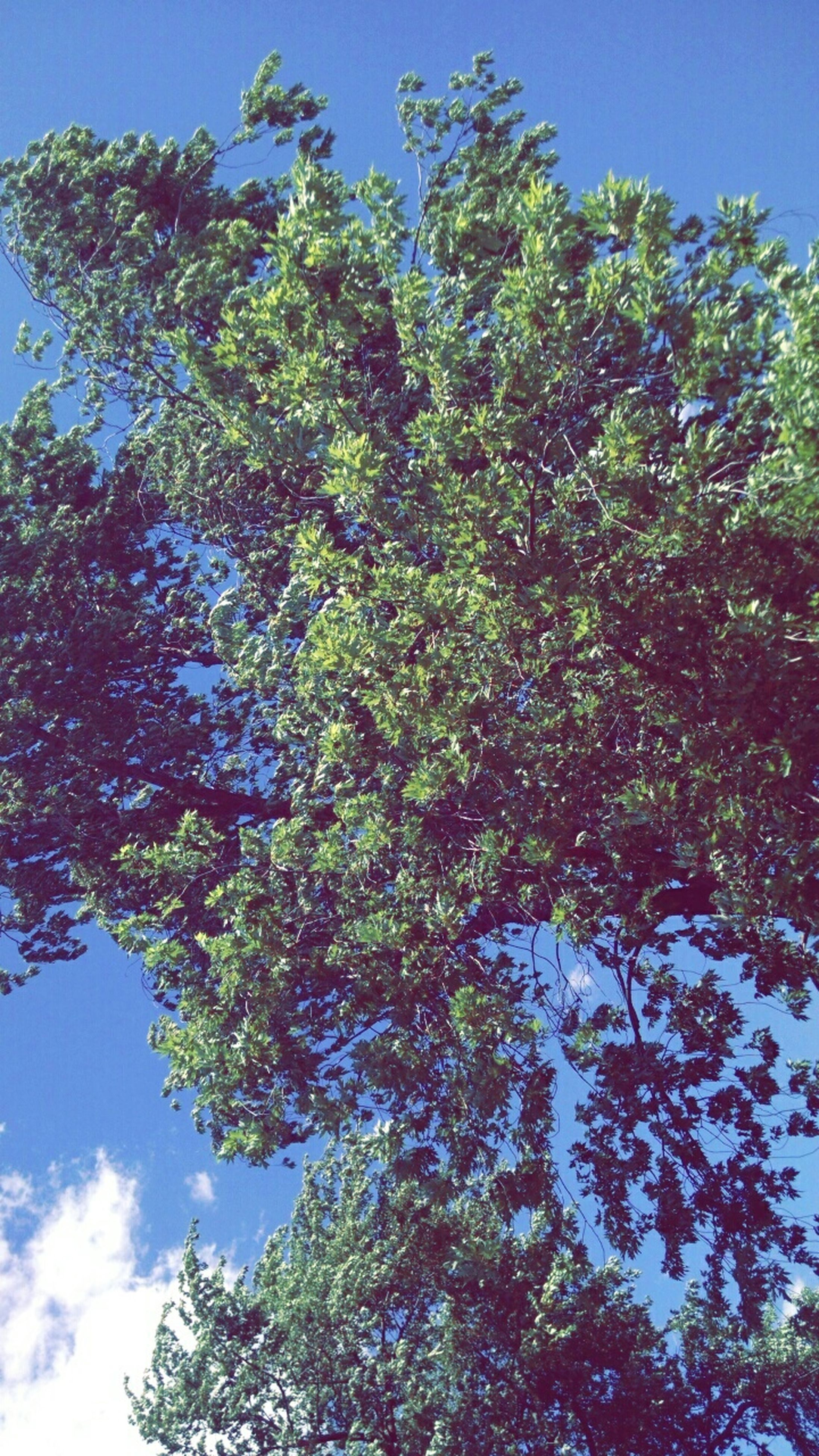 tree, low angle view, growth, tranquility, branch, blue, beauty in nature, nature, sky, clear sky, tranquil scene, scenics, sunlight, green color, day, no people, outdoors, idyllic, forest, lush foliage
