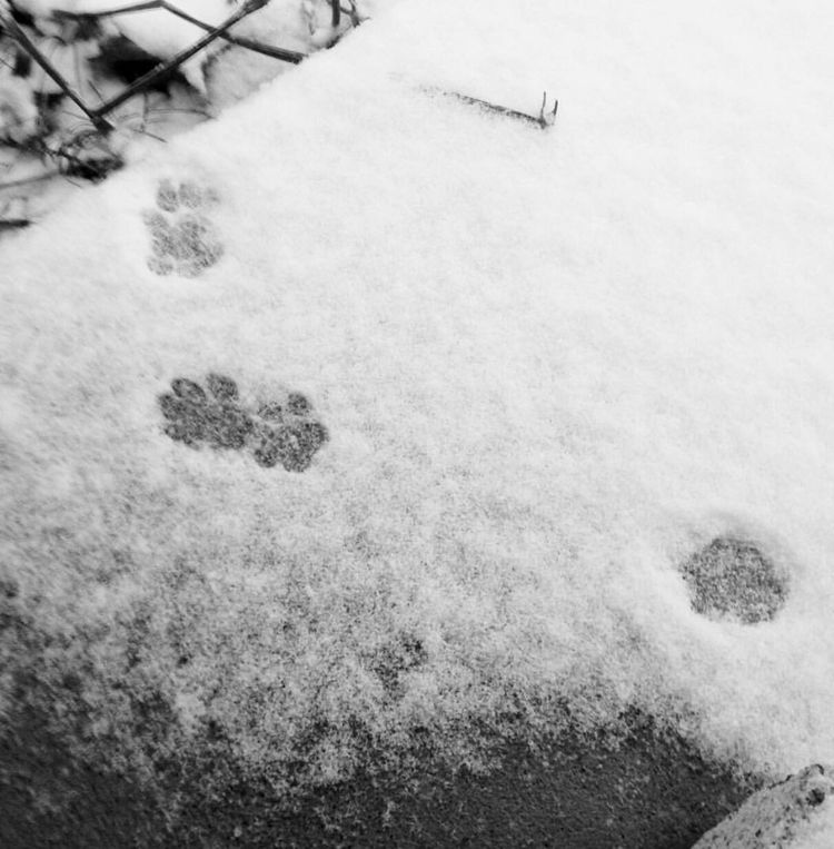 ... pawprints in the snow🐾❄️🐾 Paw Print Snow Winter Weather Paw Paw Print Paws Paw Prints Snow ❄ Snow Photography Snow Prints Paws Of A Cat