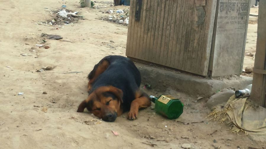 A dog sleeping beside a bottle of beer Dog