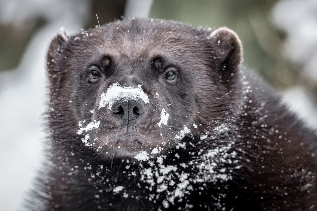 Close-Up Of Wolverine On Snow