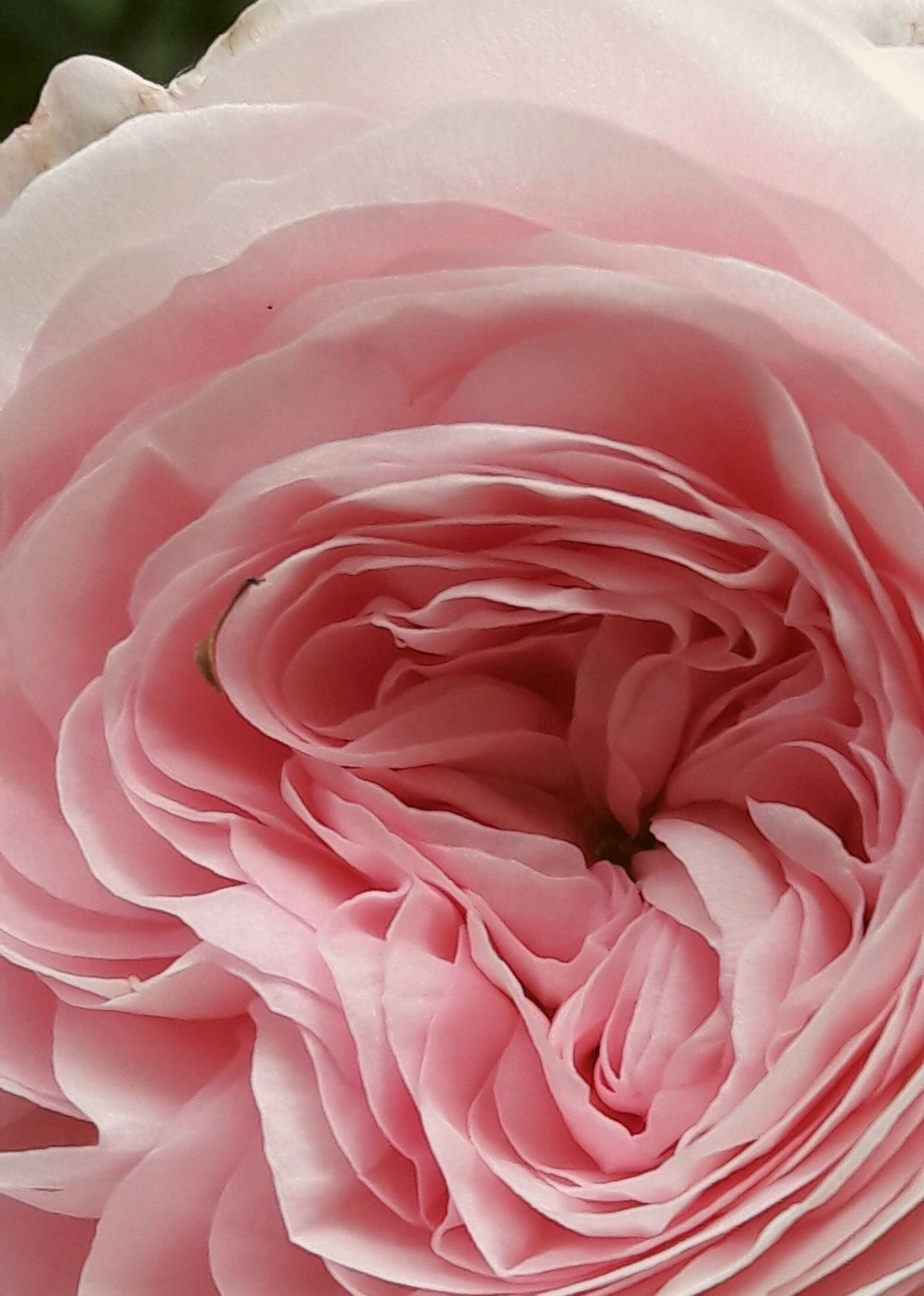 Pink Color Abstract Nature Beauty In Nature Close-up Flower Head Garden Photography Perfume Old Rose Scent Petal Beauty In Nature Rose - Flower Petals Old Rose Rose🌹 BYOPaper!