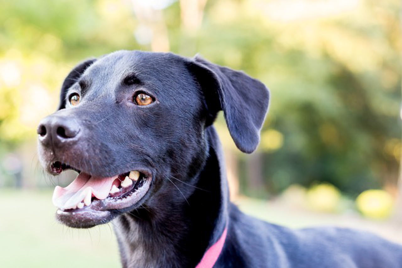 Animal Themes Black Dog Black Labrador Close-up Dog Domestic Animals Focus On Foreground One Animal Outdoors Pets