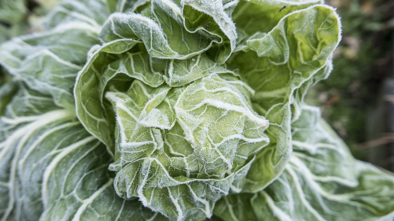 Autumn Backgrounds Botany Close-up Detail Directly Above Fragility Freshness Frozen Full Frame Gardening Green Color Growth High Angle View Leaf Leaf Vein Natural Pattern New Life No People Plant Salad Softness Vegetable
