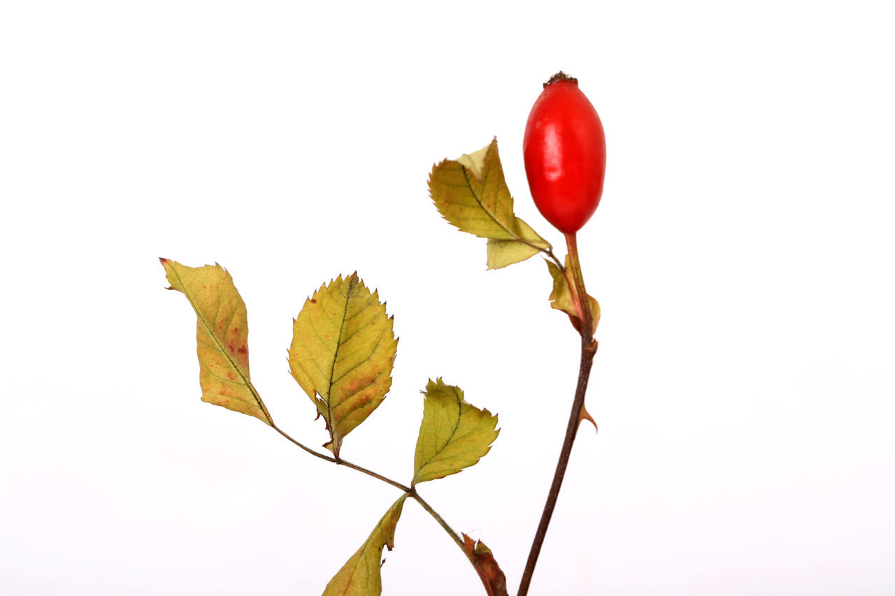 Berry Close-up Day Freshness Herb Herbal Medicine No People Red Berry Rose Hips Studio Shot White Background