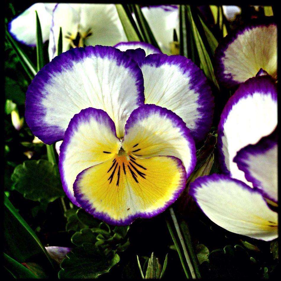 iPhone + hipstamatic avec légère retouche. 21 mars 2014 Flowers IPhone