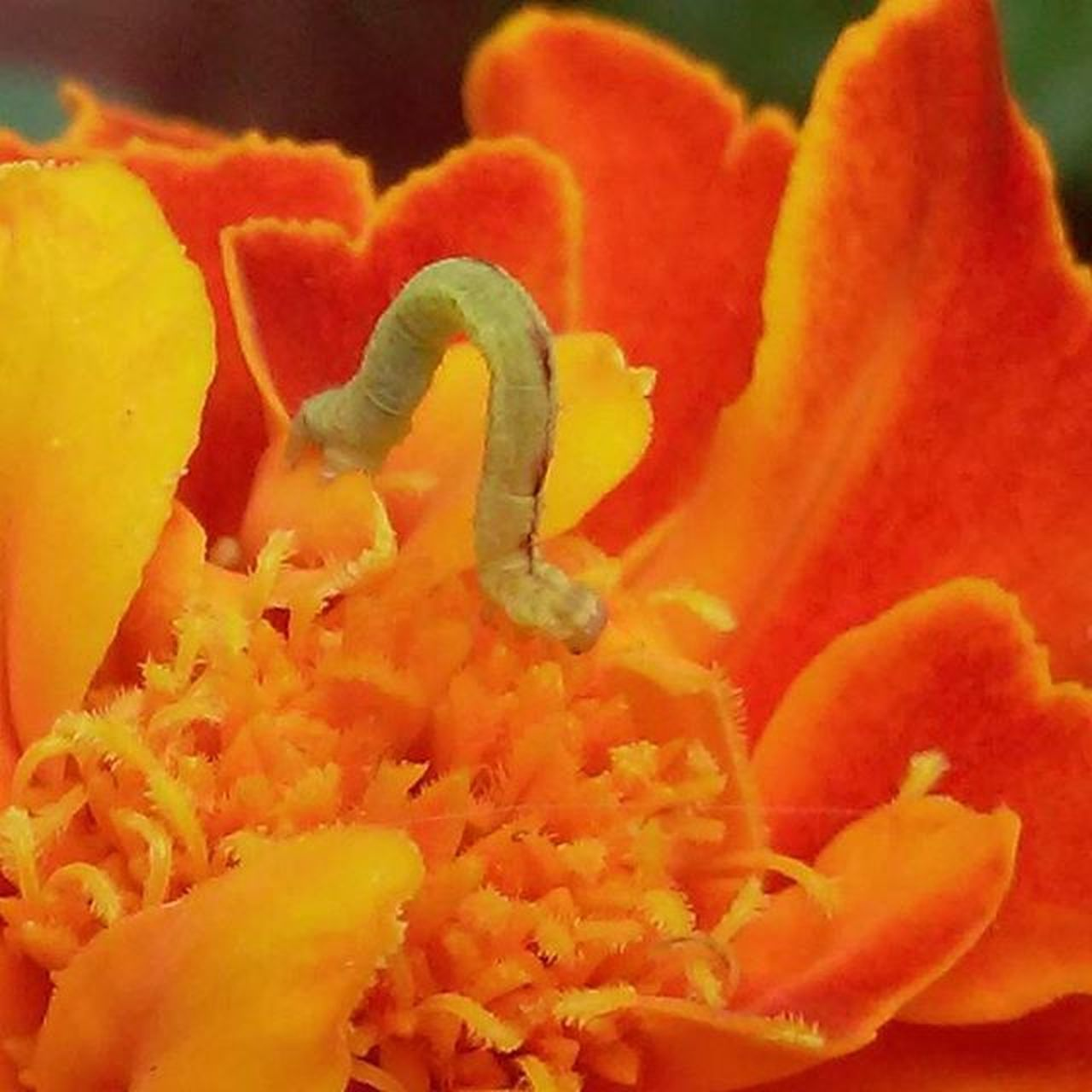 Smallest inch worm I've ever seen! 🐛 Inchworm Bugsofinstagram Bugs Creepycrawly Thingsthatcrawl