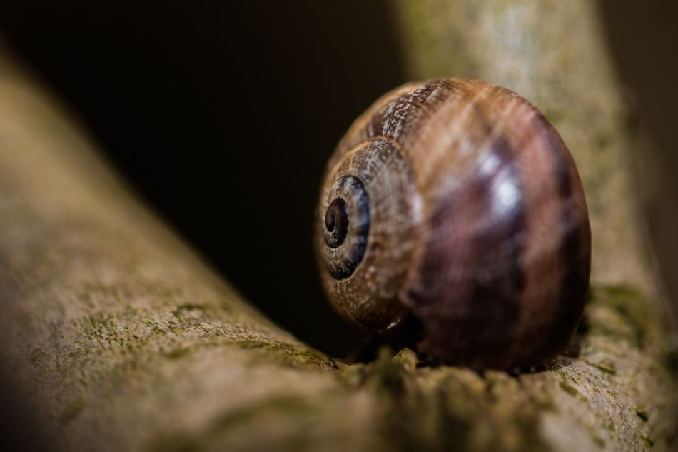 Animal Themes Animal Wildlife Animals In The Wild Canon Canonphotography Close-up Coquille Day Escargot Escargot Coquille Escargots Fragility Gastropod Macro Macro Photography Nature No People One Animal Outdoors Slimy Wildlife Wood - Material