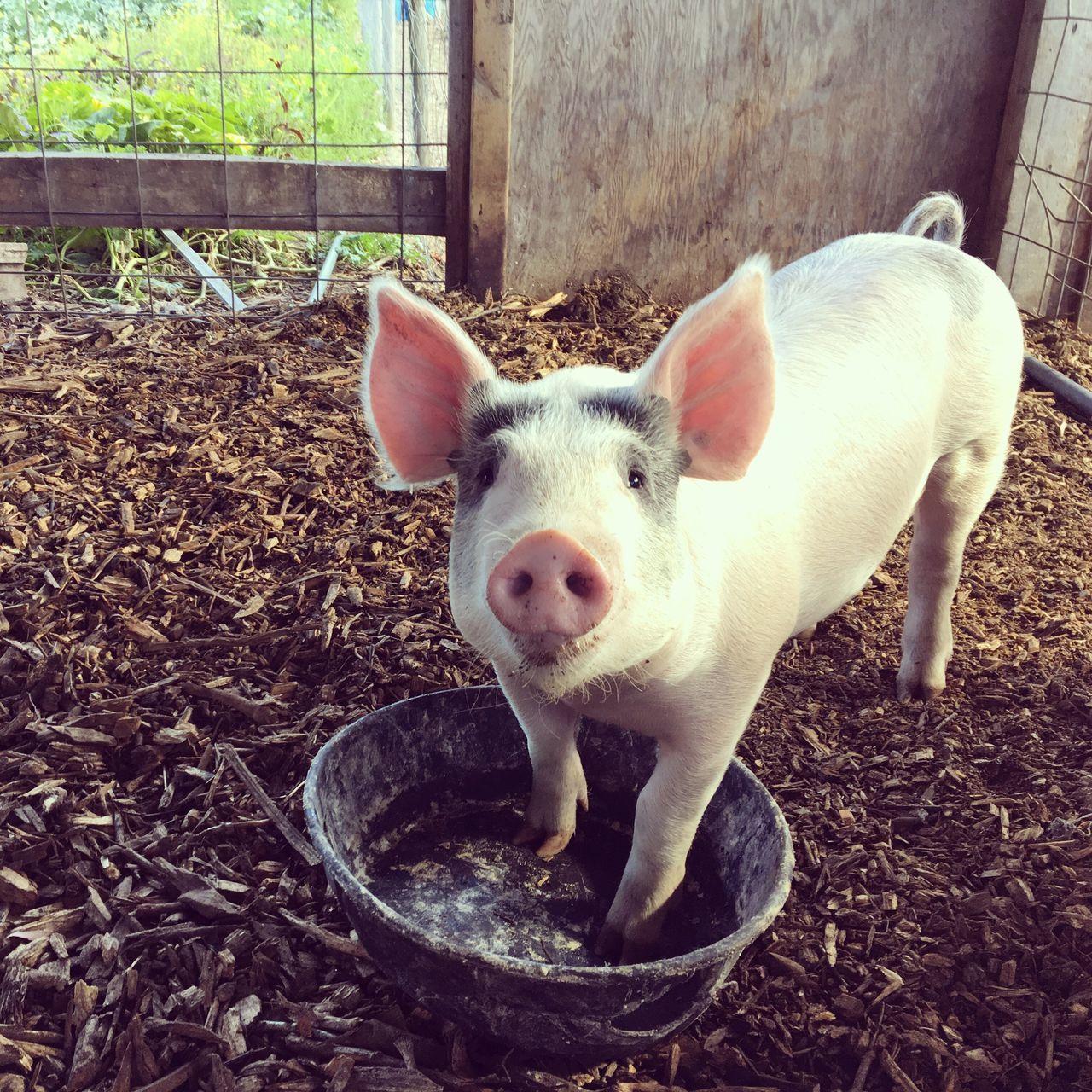 Hello Oink Pig Farm Michigan