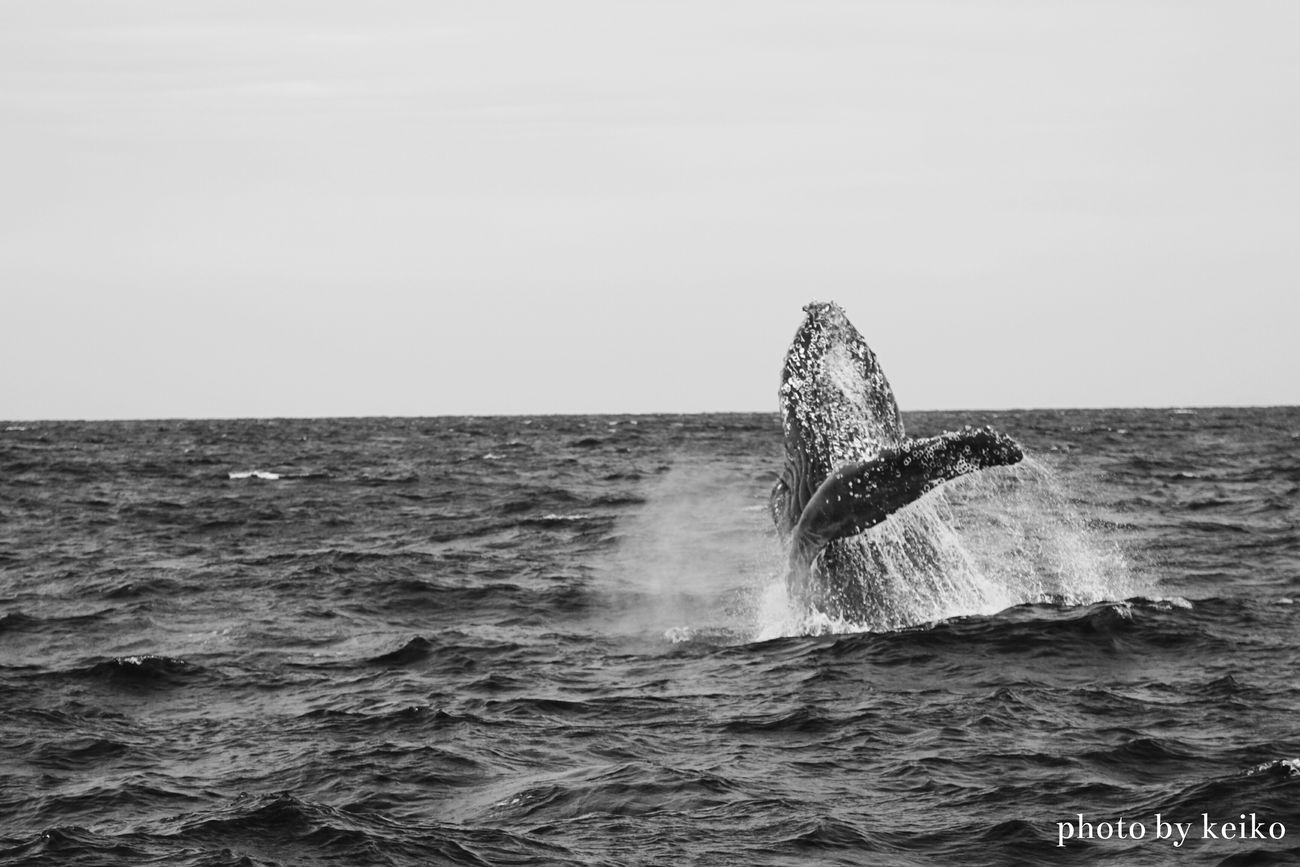 ザトウクジラ Humpback Whale Humpback モノクローム Monochrome_life Bw Monochrome モノクロ部 OKINAWA, JAPAN モノクロ Okinawa Nature_collection 写真好きな人と繋がりたい Japan Photography Eyeemphotography EyeEm Best Shots EyeEm Gallery Eye4photography  Japan Scenery Blackandwhite Humpback_kei