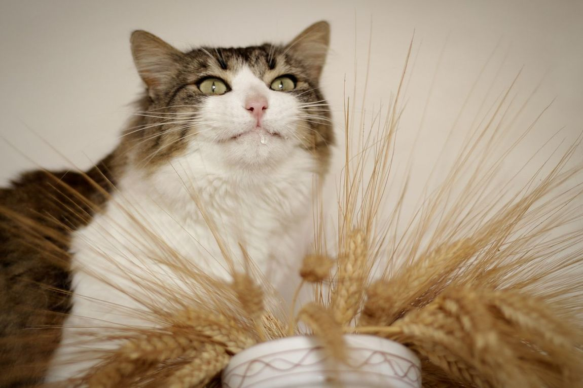 Drooling cat and wheat spikesDomestic Cat Pets One Animal Droolingcat Drools Wheat Wheat Spikes Domestic Animals Animal Themes Feline Mammal Indoors  Whisker No People Close-up Day Pet Portraits