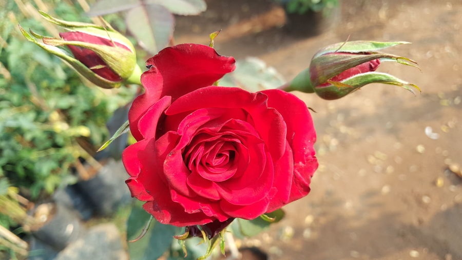 Three Roses Red Roses Rose🌹 Rose Collection Roses🌹 Rose Lovers Love Roses❤️ Red Color Bud Three Roses EyeEm EyeEm Gallery Eyeem Market Getty Getty+EyeEm Collection Gettyimages Eyeemphotography Getty Image-collection Garden Photography EyeEm Best Shots Flower Red Rose - Flower Nature Plant Growth Petal Freshness Beauty In Nature Close-up Flower Head