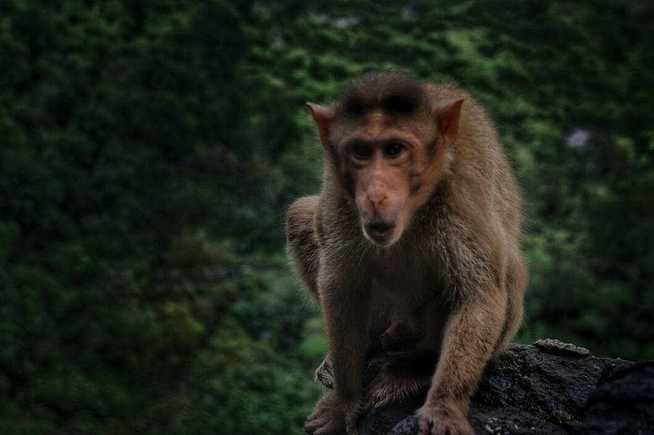 Monkey Animal Monkey Nature_collection Trekking Trimbakeshwar Monkey Forest