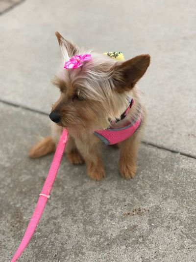 "This little yorkie says ""I am freshly groomed and my mom is taking pictures? I want to go for a walk, NOW!"" Pure Michigan Sad Face Driveway Pink Leash Groomed Groomer Pretty Pink Harness Yorkie Pomeranian Yorkies Dog Bows EyeEm Selects Dog Pets Domestic Animals One Animal"