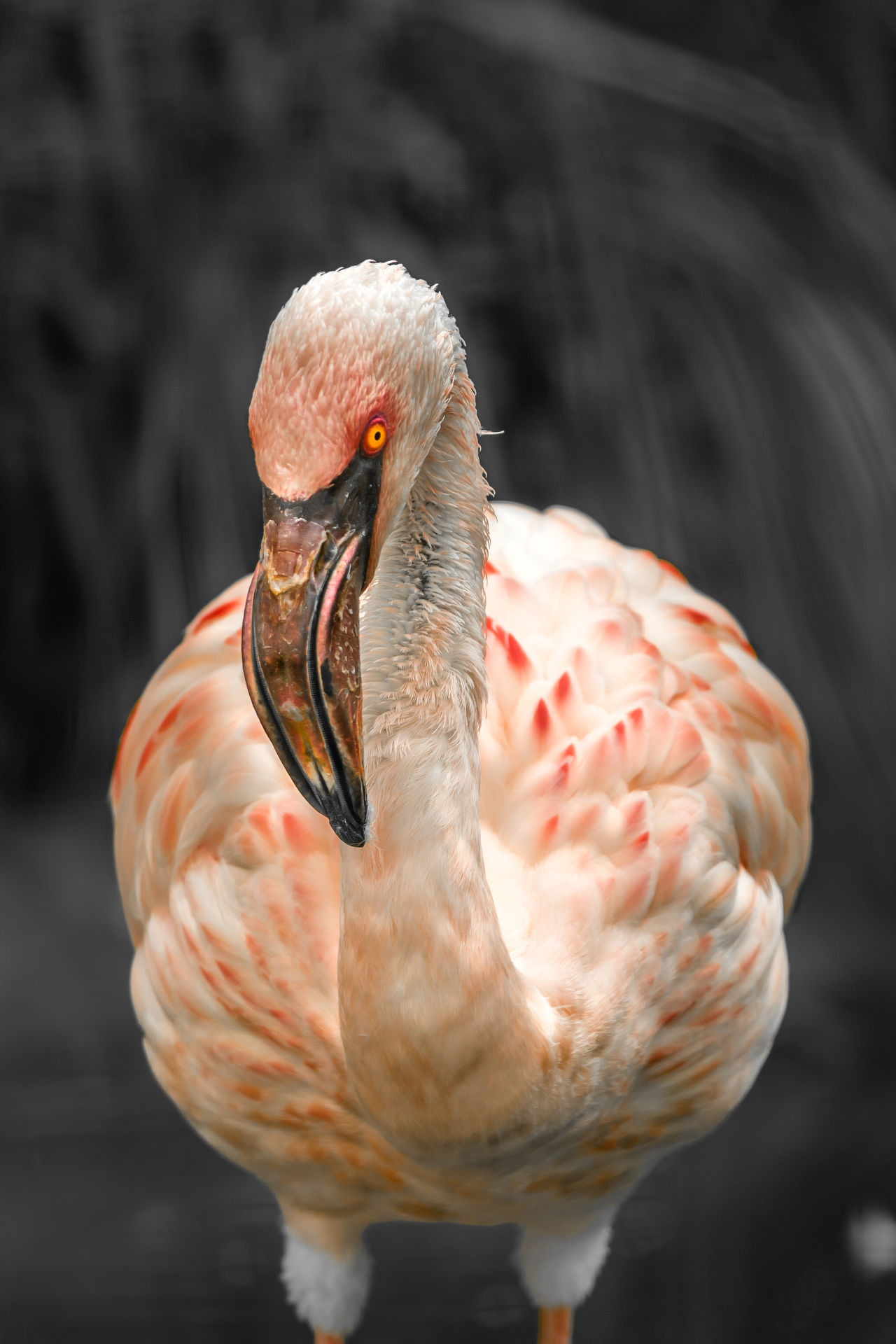 Animal Wildlife Flamingo Birds Of EyeEm  One Animal Animal Nature Animals In The Wild Bird No People Animal Themes Eyeem Market Animal Photography Portrait Wild Animal Body Part Tierfotografie Tier Animal Head  Close-up Flamingo Beauty Birds Of EyeEm  EyeEm Best Shots EyeEmBestPics EyeEm Nature Lover Vogel