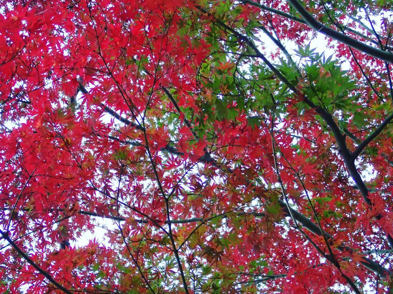 🍁Red & Green❣️ Tree Nature Beauty In Nature Autumn No People Red Autumn Colors Beautiful Colors Oume City Japan Beauty Of Earth Beauty Of Nature Green Maple I Love Earth Leaf Maple Tree Leaves Beautiful Contrast