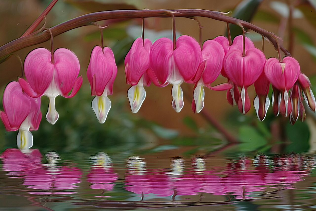 Pink Hearts spring flowers For My Friends That Connect Nature Flower Collection Flower Head Dicentra Spectabilis Bleeding Heart  coeur de marie Spring Has Arrived 💟